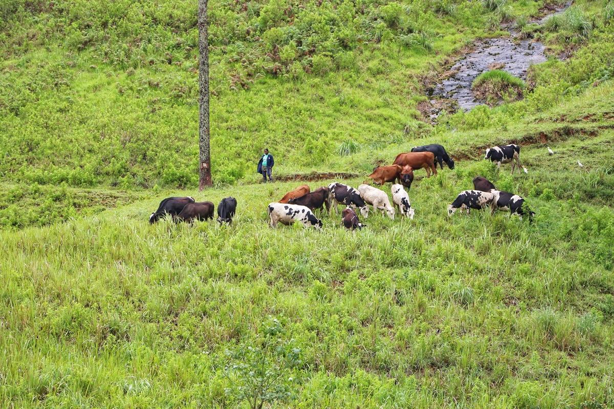 Cattles Sri Lanka
