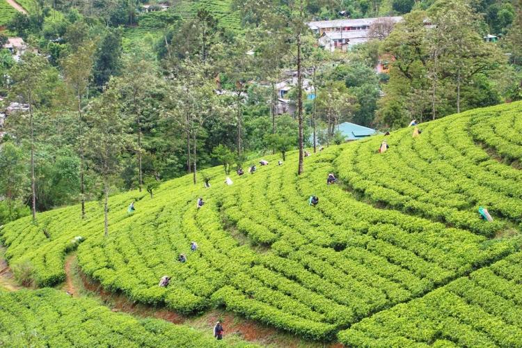 Tea Plantation NatnZin