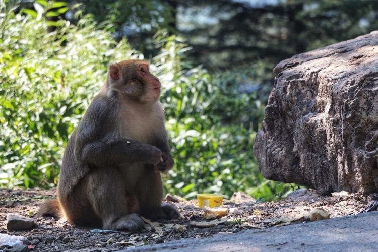Monkeys Dharamsala NatnZin