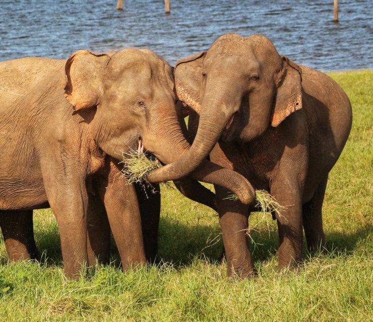 Elephant Kaudulla NatnZin