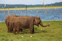 Kaudulla-Elephants-NatnZin